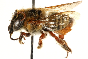 (Megachile BRA06 - 06708F07-BRA)  @11 [ ] CreativeCommons - Attribution Non-Commercial Share-Alike (2016) BIO Photography Group Biodiversity Institute of Ontario