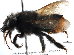 (Megachile anthidioides - 06730C04-BRA)  @11 [ ] CreativeCommons - Attribution Non-Commercial Share-Alike (2016) BIO Photography Group Biodiversity Institute of Ontario