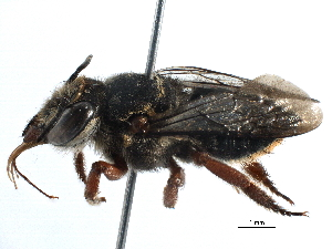 (Megachile orba - 06730C05-BRA)  @11 [ ] CreativeCommons - Attribution Non-Commercial Share-Alike (2016) BIO Photography Group Biodiversity Institute of Ontario
