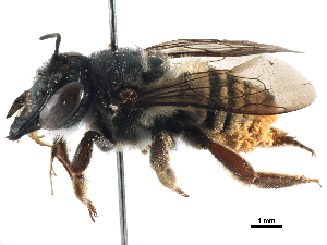 (Megachile laeta - 06730C06-BRA)  @11 [ ] CreativeCommons - Attribution Non-Commercial Share-Alike (2016) BIO Photography Group Biodiversity Institute of Ontario
