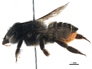 (Megachile terrestris - 06730C07-BRA)  @11 [ ] CreativeCommons - Attribution Non-Commercial Share-Alike (2016) BIO Photography Group Biodiversity Institute of Ontario