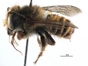 (Megachile aureiventris - 06730C09-BRA)  @14 [ ] CreativeCommons - Attribution Non-Commercial Share-Alike (2016) BIO Photography Group Biodiversity Institute of Ontario