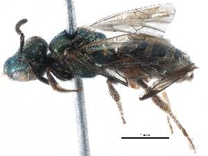 (Augochlorella tredecim - 06731G07-BRA)  @11 [ ] CreativeCommons - Attribution Non-Commercial Share-Alike (2015) CBG Photography Group Centre for Biodiversity Genomics