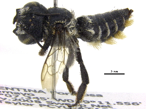 (Megachile ARG03 - 06743B09-ARG)  @11 [ ] CreativeCommons - Attribution Non-Commercial Share-Alike (2016) BIO Photography Group Biodiversity Institute of Ontario