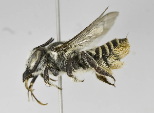 (Megachile sp. LP-2 - B1401-C09)  @11 [ ] CreativeCommons - Attribution Non-Commercial Share-Alike (2010) Unspecified York University