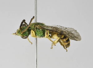 (Agapostemon semimelleus - B1401-E09)  @14 [ ] CreativeCommons - Attribution Non-Commercial Share-Alike (2010) Packer Collection at York University York University