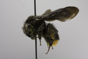 (Bombus BombusMEX1 - CCDB-00600 H07)  @13 [ ] Unspecified (default): All Rights Reserved  Unspecified Unspecified