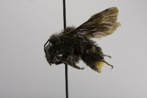(Bombus BombusMEX2 - CCDB-00600 H08)  @12 [ ] Unspecified (default): All Rights Reserved  Unspecified Unspecified