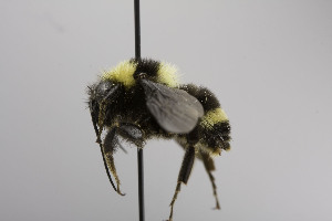 (Bombus BombusMEX3 - CCDB-00600 H09)  @13 [ ] Unspecified (default): All Rights Reserved  Unspecified Unspecified