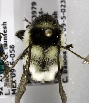 (Bombus wilmattae - B03749A05-MEX)  @14 [ ] Unspecified (default): All Rights Reserved  Unspecified Unspecified