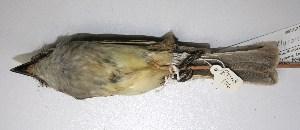 (Deltarhynchus - CNAV028176)  @13 [ ] Copyright (2010) Patricia Escalante Unspecified