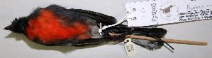 (Myioborus - CNAV028005)  @13 [ ] CreativeCommons - Attribution Non-Commercial Share-Alike (2011) Patricia Escalante Pliego Universidad Nacional Autonoma de Mexico, Instituto de Biologia