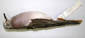 (Leptotila jamaicensis - CNAV023230.1)  @11 [ ] CreativeCommons - Attribution Non-Commercial Share-Alike (2011) Patricia Escalante Pliego Universidad Nacional Autonoma de Mexico, Instituto de Biologia