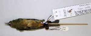 (Diglossa - CNAV028017)  @13 [ ] CreativeCommons - Attribution Non-Commercial Share-Alike (2011) Patricia Escalante Pliego Universidad Nacional Autonoma de Mexico, Instituto de Biologia