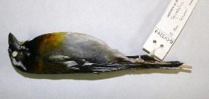 (Spindalis - CNAV023249)  @11 [ ] CreativeCommons - Attribution Non-Commercial Share-Alike (2011) Patricia Escalante Pliego Universidad Nacional Autonoma de Mexico, Instituto de Biologia