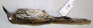 (Toxostoma - CNAV028942)  @13 [ ] CreativeCommons - Attribution Non-Commercial Share-Alike (2011) Patricia Escalante Pliego Universidad Nacional Autonoma de Mexico, Instituto de Biologia