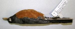 (Turdus migratorius - CNAV026503)  @13 [ ] CreativeCommons - Attribution Non-Commercial Share-Alike (2011) Patricia Escalante Pliego Universidad Nacional Autonoma de Mexico, Instituto de Biologia