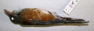 (Turdus rufopalliatus - CNAV028863)  @14 [ ] CreativeCommons - Attribution Non-Commercial Share-Alike (2011) Patricia Escalante Pliego Universidad Nacional Autonoma de Mexico, Instituto de Biologia