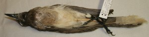 (Psilorhinus morio - CNAV025403)  @13 [ ] Unspecified (default): All Rights Reserved  Unspecified Unspecified