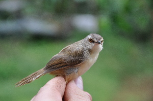 (Prinia - NHMO-33513)  @15 [ ] Unspecified (default): All Rights Reserved  Unspecified Unspecified
