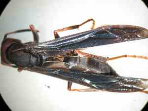 (Polistes comanchus - BONVB-0218)  @11 [ ] Unspecified (default): All Rights Reserved  Unspecified Unspecified