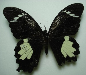 (Papilio nephelus sunatus - UMKL-JJW0027)  @13 [ ] Unspecified (default): All Rights Reserved  Unspecified Unspecified