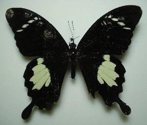 (Papilio nephelus sunatus - UMKL-JJW0028)  @13 [ ] Unspecified (default): All Rights Reserved  Unspecified Unspecified