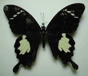 (Papilio nephelus - UMKL-JJW0028)  @13 [ ] Unspecified (default): All Rights Reserved  Unspecified Unspecified