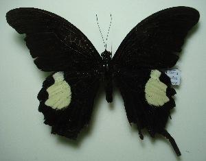 (Papilio iswara iswara - UMKL-JJW0029)  @13 [ ] Unspecified (default): All Rights Reserved  Unspecified Unspecified