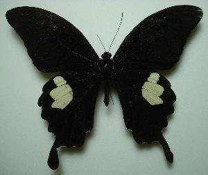 (Papilio helenus helenus - UMKL-JJW0030)  @12 [ ] Unspecified (default): All Rights Reserved  Unspecified Unspecified