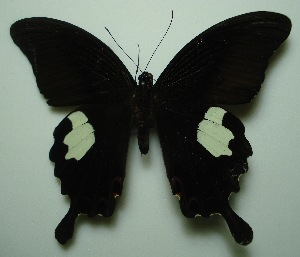 (Papilio helenus helenus - UMKL-JJW0032)  @12 [ ] Unspecified (default): All Rights Reserved  Unspecified Unspecified