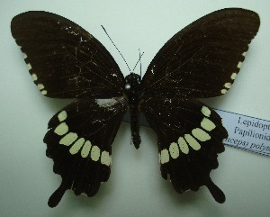 (Papilio polytes romulus - UMKL-JJW0036)  @12 [ ] Unspecified (default): All Rights Reserved  Unspecified Unspecified