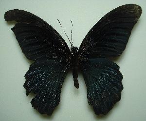 (Papilio memnon agenor - UMKL-JJW0038)  @13 [ ] Unspecified (default): All Rights Reserved  Unspecified Unspecified