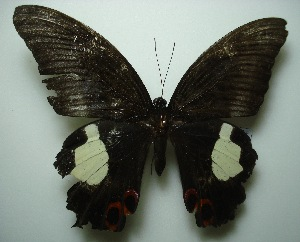 (Papilio iswara iswara - UMKL-JJW0111)  @13 [ ] Unspecified (default): All Rights Reserved  Unspecified Unspecified