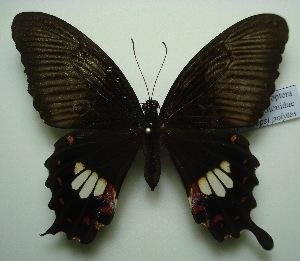 (Papilio polytes romulus - UMKL-JJW0112)  @12 [ ] Unspecified (default): All Rights Reserved  Unspecified Unspecified