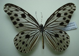(Ideopsis - UMKL-JJW0228)  @14 [ ] Unspecified (default): All Rights Reserved  Unspecified Unspecified