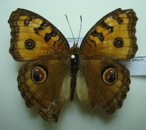 (Junonia almana javana - UMKL-JJW0232)  @13 [ ] Unspecified (default): All Rights Reserved  Unspecified Unspecified