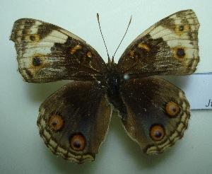 (Junonia orithya wallacei - UMKL-JJW0236)  @12 [ ] Unspecified (default): All Rights Reserved  Unspecified Unspecified