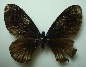 (Papilio slateri perses - UMKL-JJW0397)  @11 [ ] Unspecified (default): All Rights Reserved  Unspecified Unspecified
