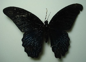 (Papilio memnon agenor - UMKL-JJW0400)  @13 [ ] Unspecified (default): All Rights Reserved  Unspecified Unspecified