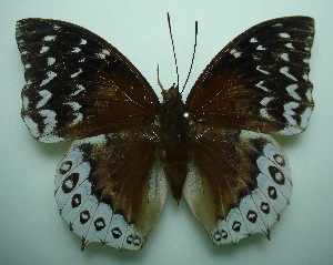 (Charaxes durnfordi durnfordi - UMKL-SJ020)  @13 [ ] Unspecified (default): All Rights Reserved  Unspecified Unspecified
