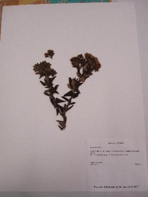 (Pentacalia - Antoine 11135)  @11 [ ] CreativeCommons - Attribution Non-Commercial Share-Alike (2013) Unspecified Instituto de Investigación de Recursos Biológicos Alexander von Humboldt