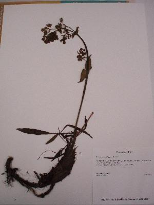 (Valeriana - Antoine 11191)  @11 [ ] CreativeCommons - Attribution Non-Commercial Share-Alike (2013) Unspecified Instituto de Investigación de Recursos Biológicos Alexander von Humboldt
