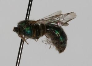 (Augochlorella sp. aff. carinata - ARG-7205-14)  @12 [ ] CreativeCommons - Attribution Non-Commercial Share-Alike (2010) Packer Collection York University York University