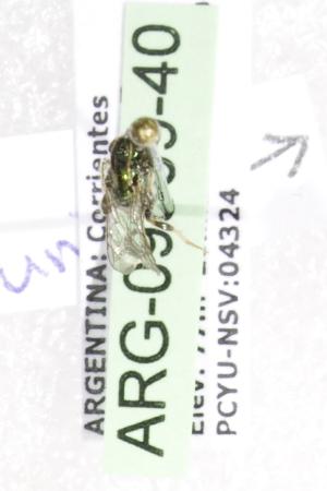 (Augochlorella affacarinata - ARG-09809-40)  @13 [ ] CreativeCommons - Attribution Non-Commercial Share-Alike (2011) Packer Collection York University York University