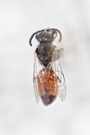 (Sphecodes sp. 1 - CCDB-24582 A01)  @11 [ ] CreativeCommons - Attribution by Laurence Packer (2016) Laurence Packer York University