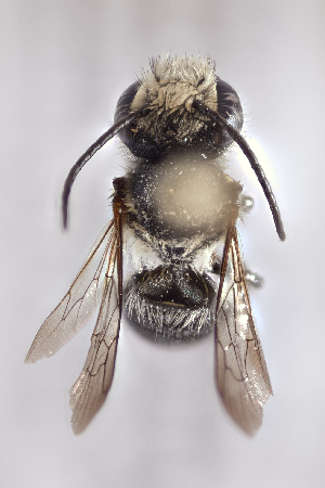 (Megachile minima - CCDB-24582 A02)  @11 [ ] CreativeCommons - Attribution by Laurence Packer (2016) Laurence Packer York University
