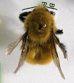 (Bombus dahlbomii - CCDB-09857 E02)  @14 [ ] Copyright (2010) Laurence Packer York University
