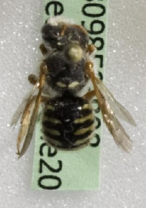 (Anthidium chilense - CCDB-09858 B08)  @13 [ ] Copyright (2010) Laurence Packer York University