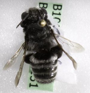 (Megachile CHL12 - CCDB-10006 E08)  @11 [ ] Copyright (2010) Laurence Packer York University